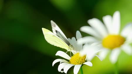 луг : White butterfly on a flower daisies, slow motion.