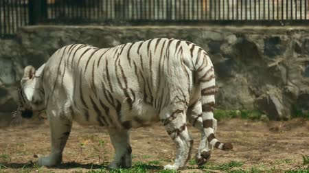 bengali : White tigress