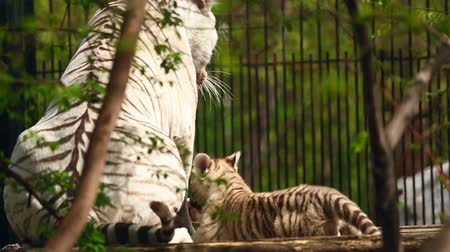 bengali : White tigress and cub