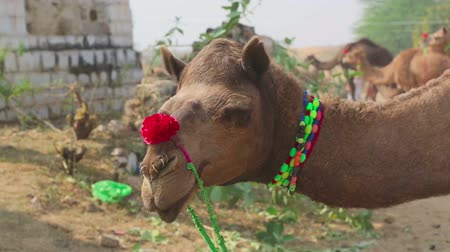wielbłąd : Decorated camel