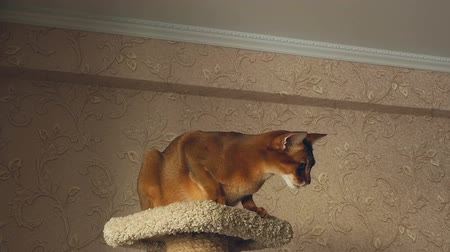 kitty : Abyssinian cat