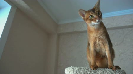 purebred cat : Abyssinian cat playing