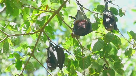 pteropus : Flying foxes rest.