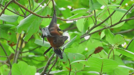 pteropus : Flying fox hangs on a tree branch and eat fruit