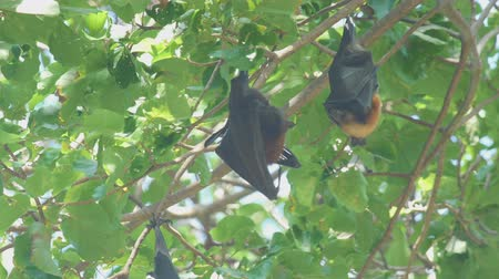 pteropus : Flying fox hangs on a tree branch and washes Stock Footage