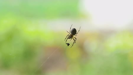 presa : Spider on the web, eats prey