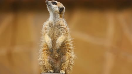 animal protection : Meerkat looking out Stock Footage