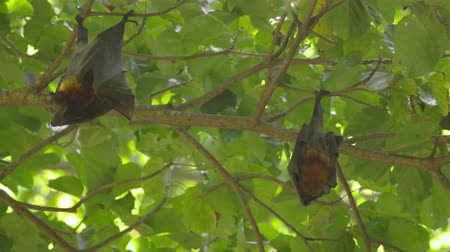 pteropus : Flying foxes hangs on a tree branch and washes