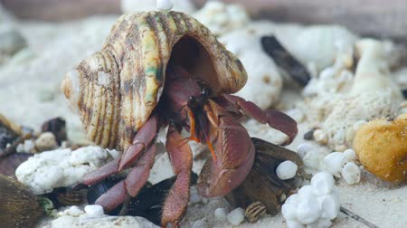 crustáceo : Hermit crab crawling on the beach