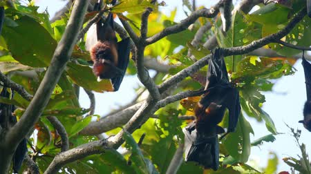 pteropus : Flying foxes hanging on a tree branch and washing up