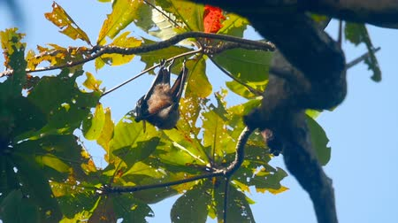 pteropus : Flying foxes hanging on a tree branch and washing up, slow motion