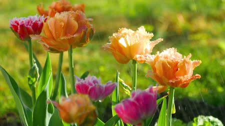 terry : Terry tulips after rain Stock Footage