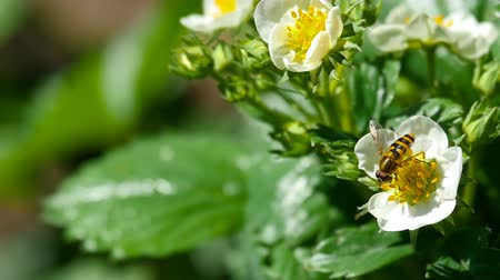 eper : Bee on strawberry flowers Stock mozgókép