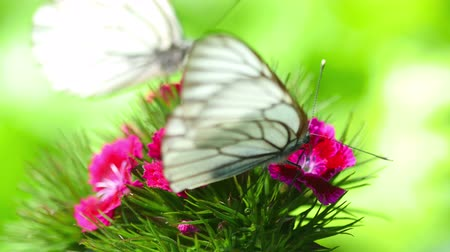 szegfű : Black Veined White butterfly