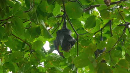 fruit bat : Flying fox hanging on a tree branch
