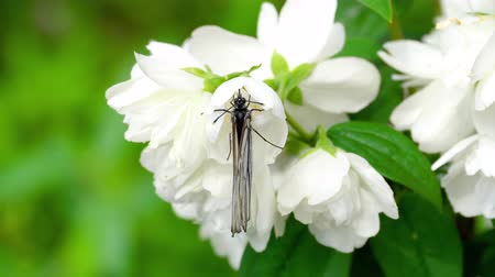 ジャスミン : Black Veined White butterfly on Jasmine