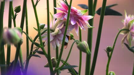 шмель : Bumblebee at Pink decorative aquilegia flowers