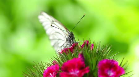 カーネーション : Black Veined White butterfly