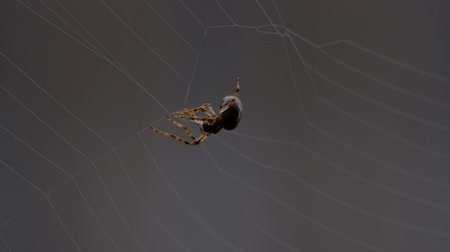 artrópode : Spider weaves a web