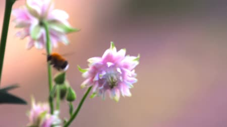 trvalka : Bumblebee at Pink decorative aquilegia flowers