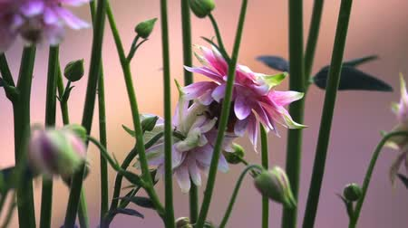 yabanarısı : Bumblebee at Pink decorative aquilegia flowers