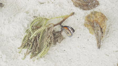 monarca : Monarch butterfly on sandy beach