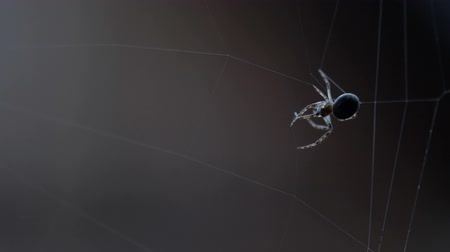 cross spider : Spider weaves a web