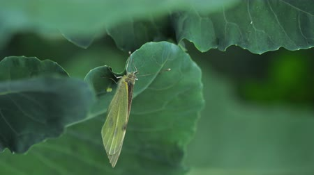 egg laying : Butterfly laying eggs on green leaf Stock Footage