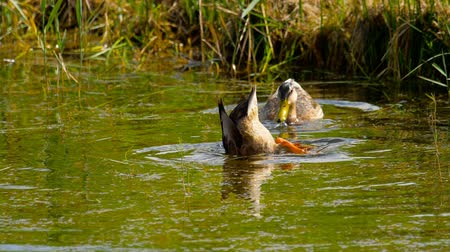 yeşilbaş : Mallard duck diving