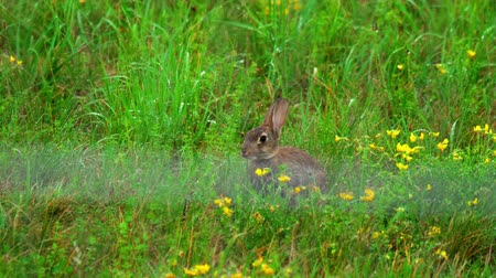 europaeus : Hare in green grass, a rain shower