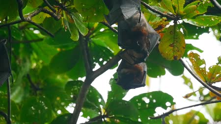 vampiro : Flying foxes hanging on a tree branch and washing up