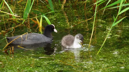 csaj : Coot and chick swimming in pond Stock mozgókép