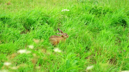 europaeus : Hare in green grass Stock Footage