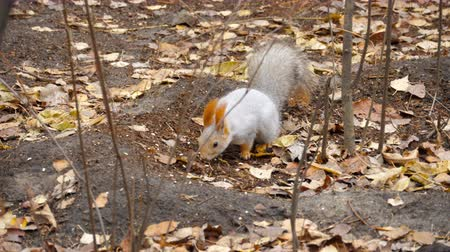 cheirando : Squirrel eating sunflower seeds Stock Footage