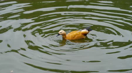 boticário : Ruddy Shelduck on water