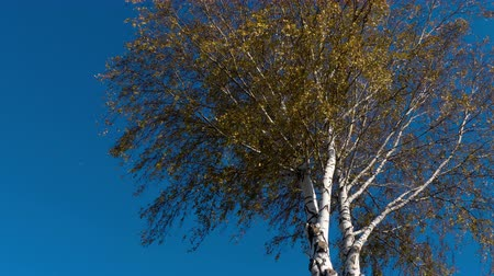 birch tree : Autumn trees with yellowing leaves against the sky Stock Footage