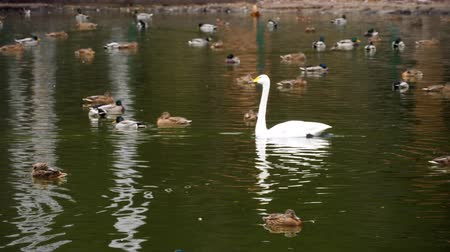 cisne : Wild waterfowl on the pond