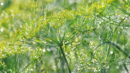 kapor : Inflorescence of dill under rain
