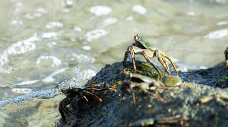 korýš : Crab on the rock at the beach