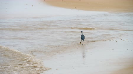 bird ecology : Pacific reef heron hunts for fish