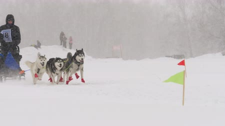trenó : Team of husky sled dogs with dog-driver