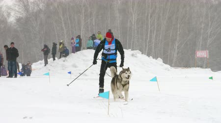 husky : Husky dog and man athlete during skijoring competitions Stock Footage