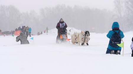 eskimo : Team of husky sled dogs with dog-driver