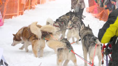 szibéria : Team of husky sled dogs with dog-driver