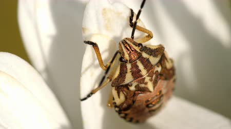 invasive : Brown Marmorated Stink Bug