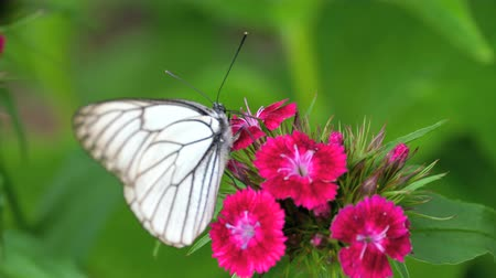 motyl : Black Veined White butterfly