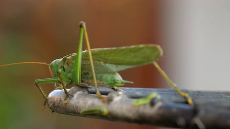 insects isolated : Big green locust male