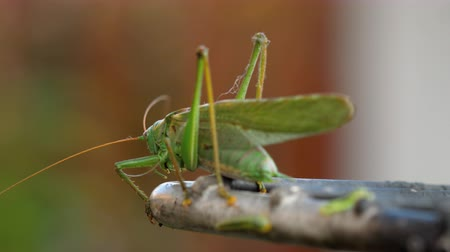 grasshopper : Big green locust male