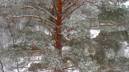 lucfenyő : Snow covered pine tree