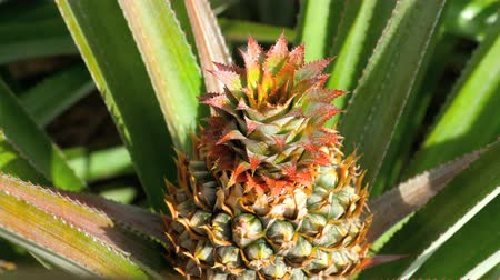 ananász : Pineapple growing on pineapple plant. Stock mozgókép
